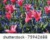 Tulips in garden - stock photo