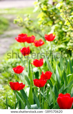 tulips in garden - stock photo