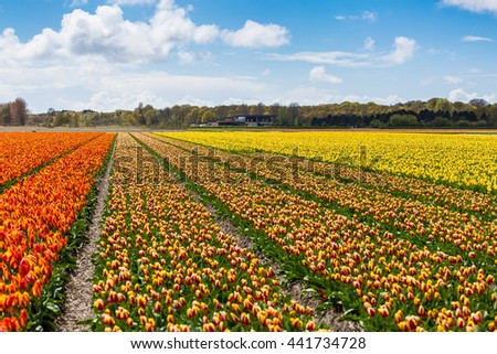 Tulips in Lisse, Netherlands, Europe.