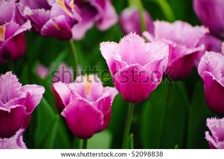 Tulips in Longwood Gardens - stock photo