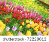 Tulips in the Keukenhof park, Netherland - stock photo