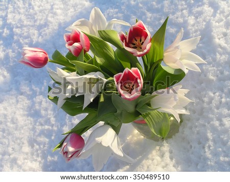 Tulips in the snow illuminated by the sun - stock photo