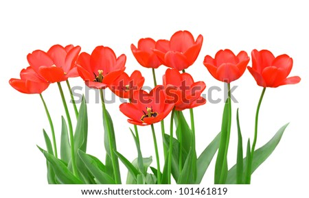 Tulips isolated on a white background