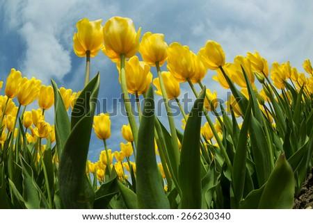Tulips istanbul - stock photo