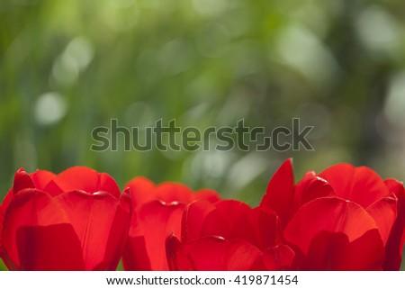 tulips macro petals bokeh with bokeh grass tulips petals bokeh tulips petals bokeh tulips petals bokeh tulips petals bokeh tulips petals bokeh tulips petals bokeh tulips petals bokeh tulips petals  - stock photo