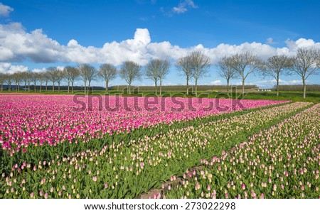 Tulips on a field in spring under a blue cloudy sky - stock photo
