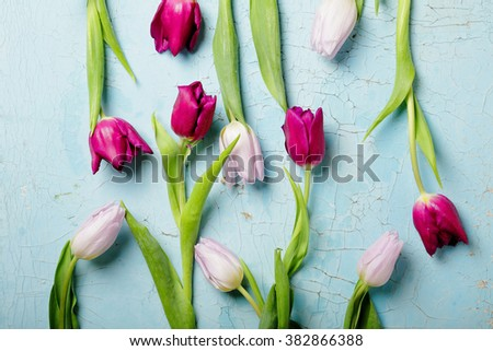 tulips on blue background top view - stock photo