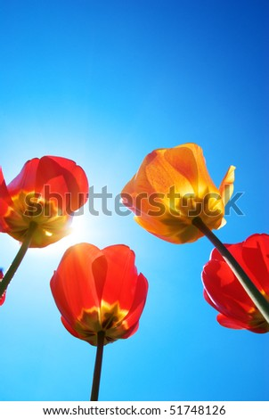 Tulips on the sky background. Nature scene.