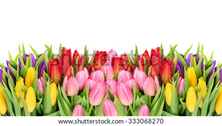 Tulips over white background. Fresh spring flowers with water drops - stock photo
