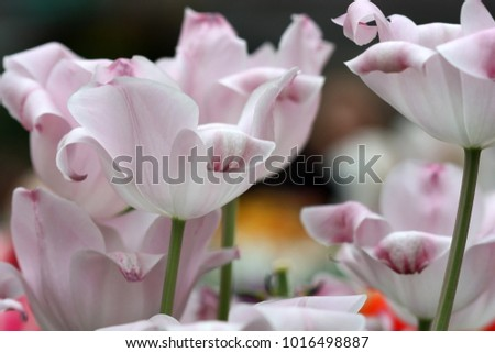 Tulips pink. Flower bright background horizontally. Tulipa. Liliaceae Family. Tulipa. Liliaceae Family.
