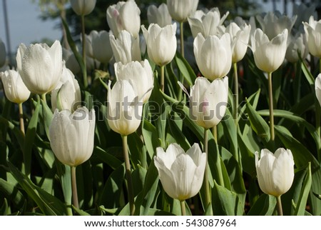 Tulips, purple and white bloom in winter.