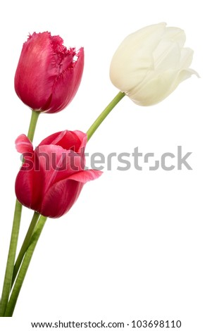 Tulips. Red and white flowers isolated on white - stock photo