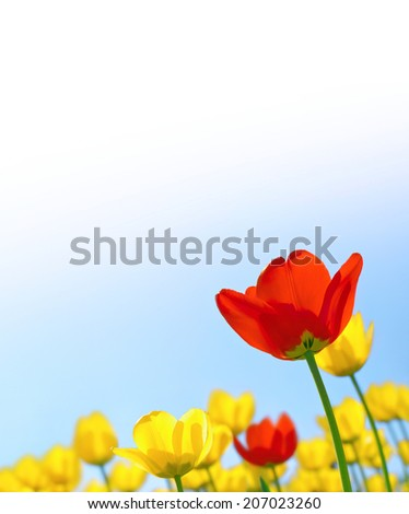 Tulips red and yellow against the blue sky