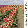 tulips, shallow DoF with focus on foreground tulips. - stock photo