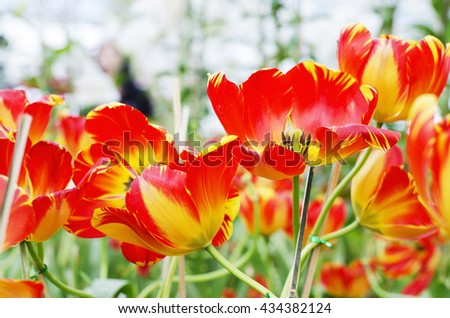 """Tulips species """"Banja Luka"""" is a brightly colored tulips blooming in the new season in Rayong, Thailand. - stock photo"""