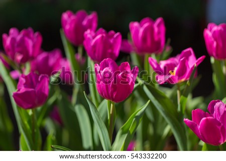 Tulips. Spring background with beautiful yellow and purple tulips.