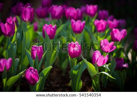 Tulips. Spring background with beautiful yellow tulips.