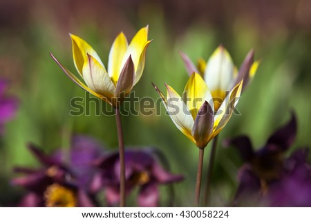 Tulips , spring flower background