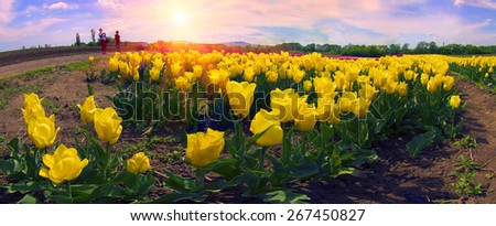 Tulips - spring flowers, very beautiful colors and a variety of shapes, decorated with landscapes of the world and the delight of many fans view garden