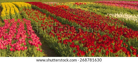 Tulips - spring flowers, very beautiful colors and a variety of shapes, decorated with landscapes of the world and the delight of many fans view garden, buyout put them in the form of patterns - stock photo