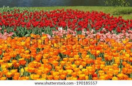 Tulips - Spring in the botanical garden