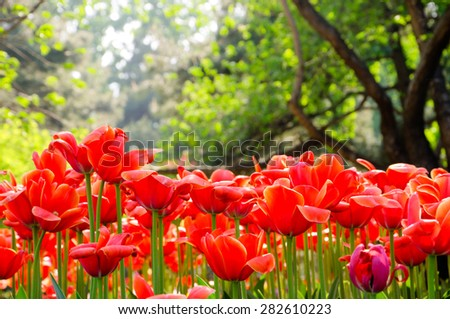 Tulips/Tulips in Bright Sunshine in the forest