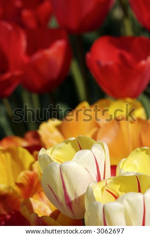 tulips up close with blurred background