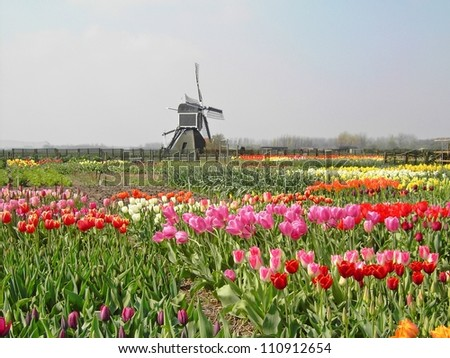 Tulips with a windmill in the spring of The Netherlands. - stock photo