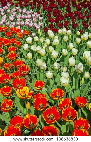 stock-photo-tulips-with-different-colors-in-spring-garden-keukenhof-lisse-138636830.jpg