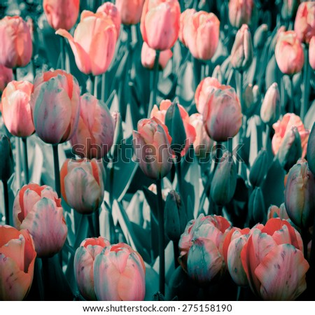 Tulips with duotone color effect.  Tulips with vintage instagram filter colors. Spring flowers of retro style. - stock photo