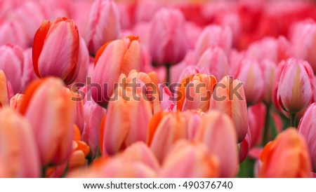 tullips blooming at Keukenhof, The Netherlands