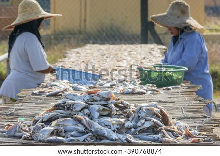 TUMPAT, KELANTAN, MALAYSIA - MARCH 14, 2016 : Salting fish. Dried fish is processed from excess commercial fish or low quality fish such as jewfish, hardtail scad, sea catfish, ribbon fish and rays. - stock photo