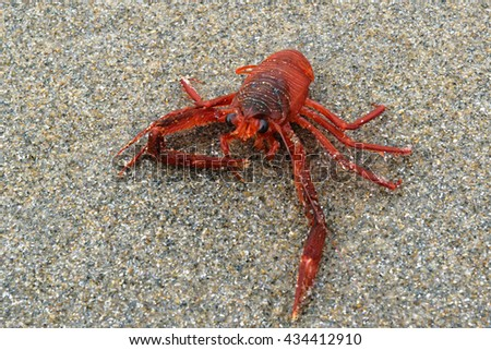 Tuna crab washed up on a sand beach - stock photo