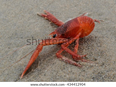 Tuna crab with curled tail washed up on a sand beach side view - stock photo
