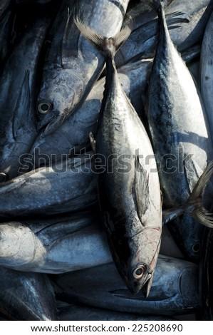 Eastern little tuna - photo#32