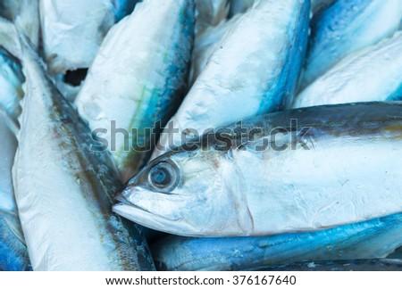 Eastern little tuna - photo#21