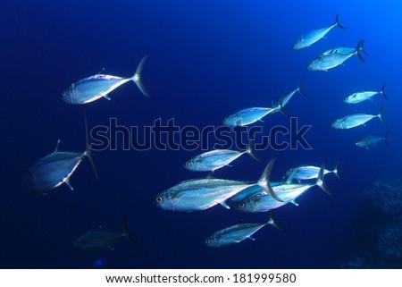 Tuna Fish in Ocean - stock photo