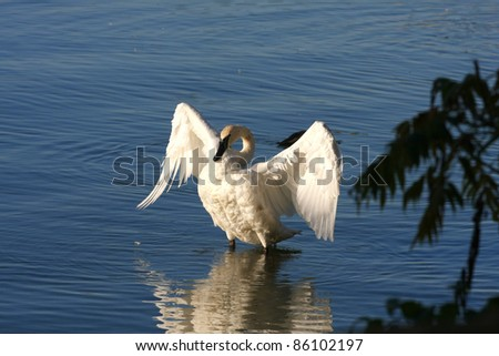 Tundra Swan Cygnus columbianus - stock photo