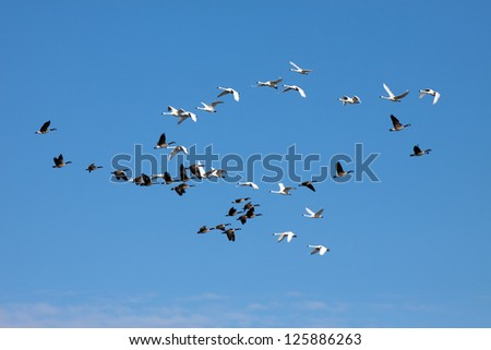 Tundra Swans and Canadian Geese cross flight paths