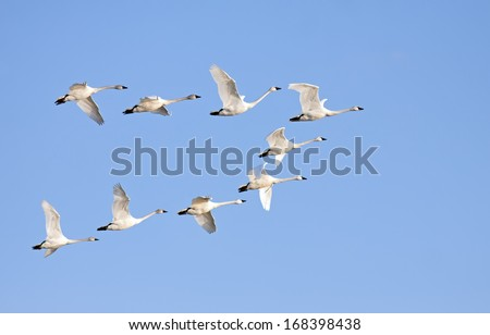 Tundra Swans flying in formation on a clear winter day. - stock photo