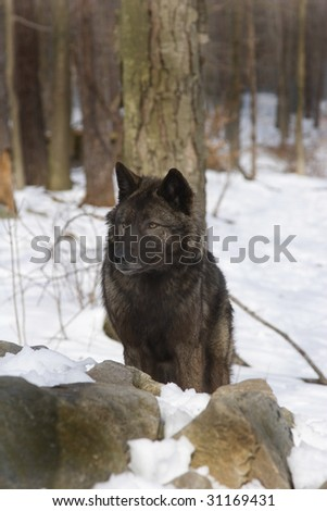 Tundra Wolf (canis lupus albus) in snow