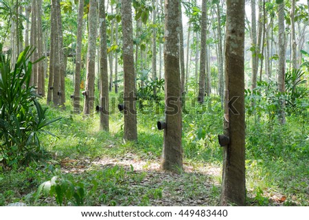 Tunnel of India Rubber in rubber plantation Nature background