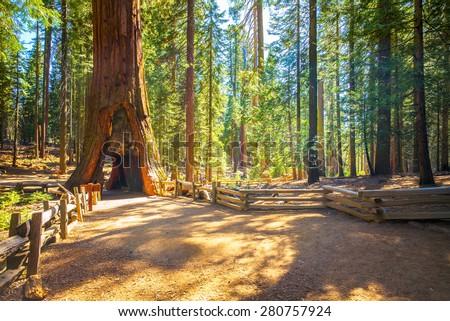 Tunnel Tree, Mariposa Grove, Yosemite National Park, California, USA - Sequoia tree - stock photo