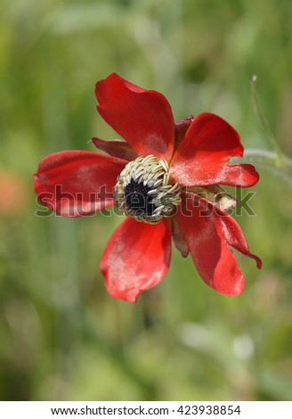 Turban Buttercup - Ranunculus asiaticus Red form Flower - stock photo