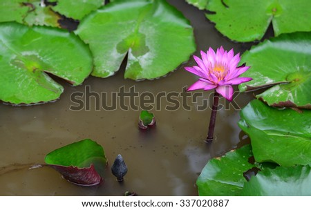 Turbid blooming lotus pond.