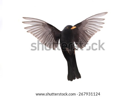 turdus merula - a blackbird in flight isolated on a white background - stock photo