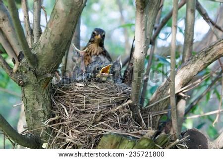 Turdus pilaris, Fieldfare.  Nest of a bird in the nature. - stock photo