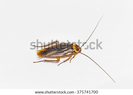 Turkestan cockroach (Blatta lateralis), also known as the rusty red cockroach. Wild life animal. - stock photo