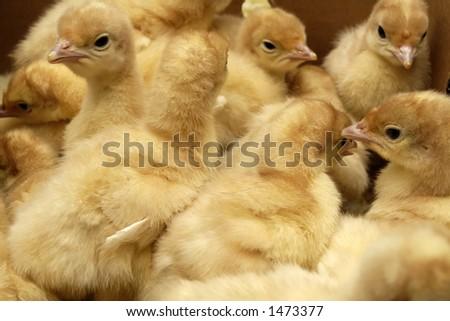 turkey - stock photo