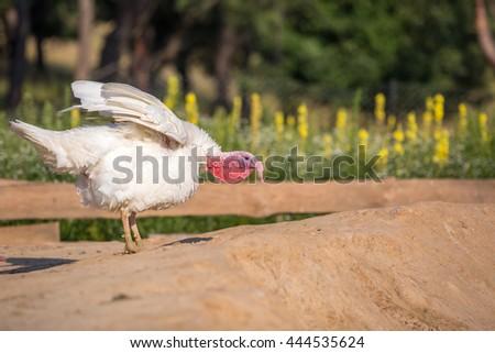 Turkey at the farm - stock photo